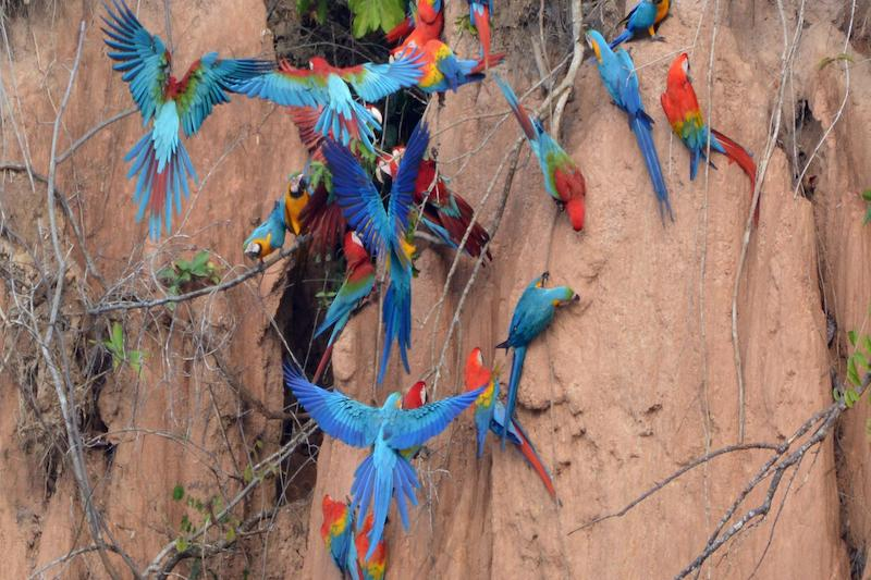 Macaw Clay Lick In the Peruvian Amazon Rainforest